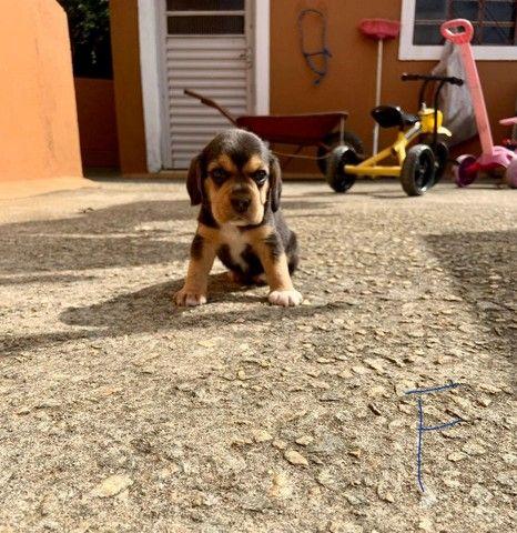 Beagle macho e femea disponivel promoçao  - Foto 3
