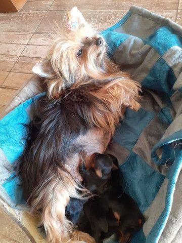 Filhotes de Yorkshire Terrier  - Foto 4