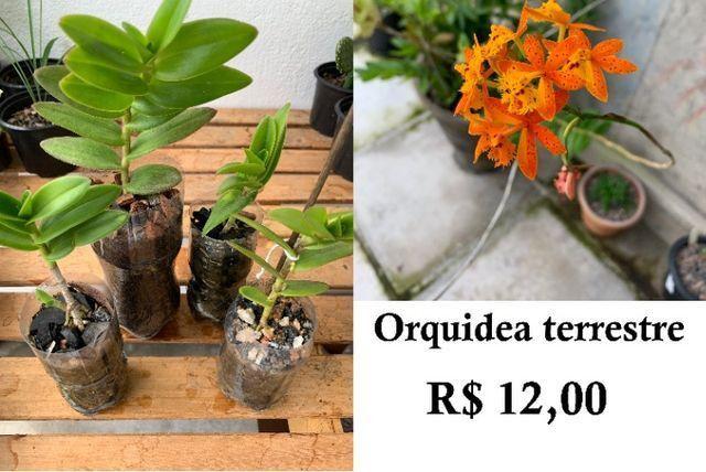 Orquidea terrestre - Garanhuns