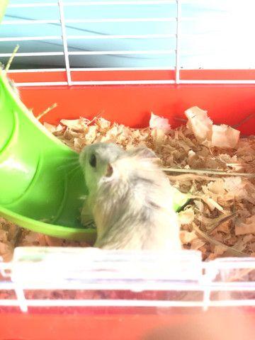 Filhotes de Roedores Hamster - Foto 4