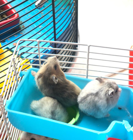 Filhotes de Roedores Hamster