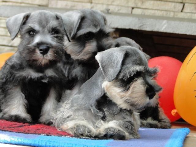 Schnauzer Miniatura - filhotes lindíssimos há 24 anos. Reserve o seu !!!!! - Foto 3