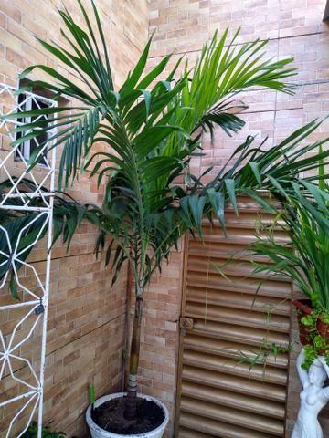 Palmeira grande - Foto 3