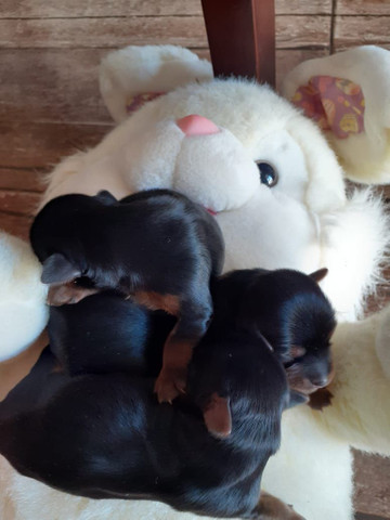 Filhotes de Yorkshire Terrier  - Foto 3