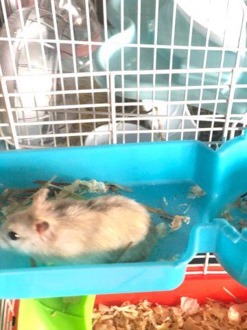 Filhotes de Roedores Hamster - Foto 3