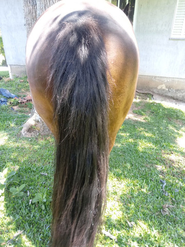 Vendo cavalo criolo manso e de laço  - Foto 4