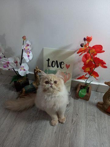 Gatos Persas. - Foto 3