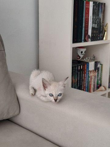 Gatinha filhote para adoção (gato para adoção- fêmea) - Foto 2