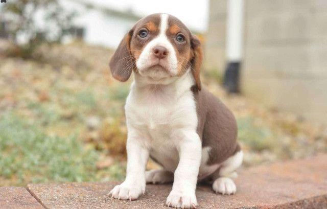 Beagle mini, a pronta entrega - Foto 3