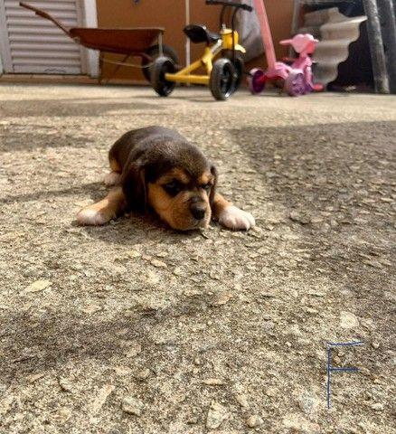 Beagle macho e femea disponivel promoçao  - Foto 2