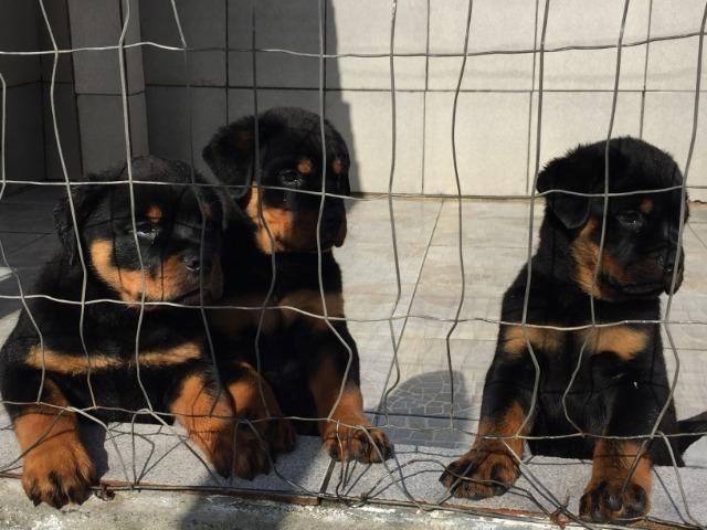 Filhotes machos Rottweiler - Foto 4