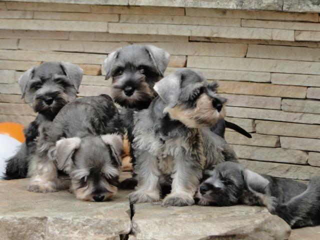 Schnauzer Miniatura - filhotes lindíssimos há 24 anos. Reserve o seu !!!!! - Foto 5