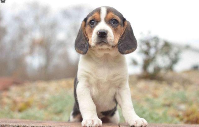 Beagle mini, a pronta entrega - Foto 2