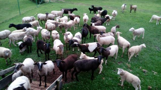 Vendo carneiros 9,50 kg