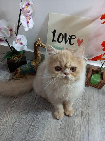 Gatos Persas. - Foto 5