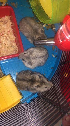 Filhotes de Roedores Hamster - Foto 5
