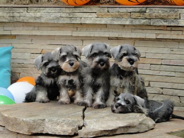 Schnauzer Miniatura - filhotes lindíssimos há 24 anos. Reserve o seu !!!!! - Foto 6