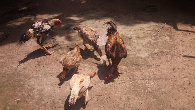 Criação de galos, galinhas e coelhos de raça. - Foto 5