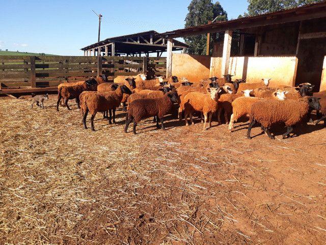 Lote de Ovelhas  - Foto 3