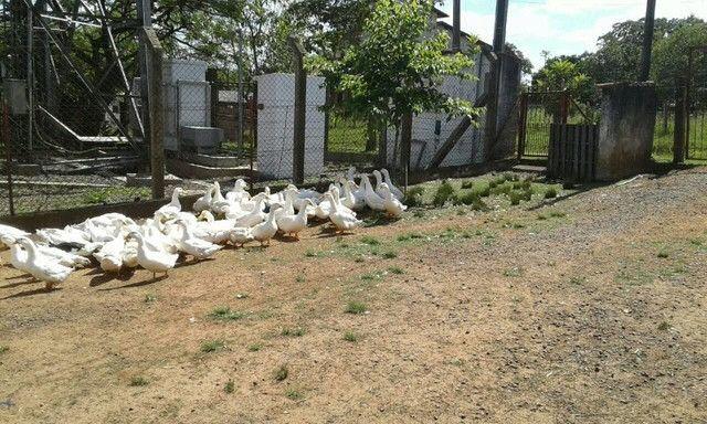 promoçao lote de marrecos pequins - Foto 2