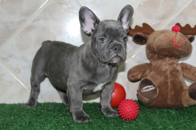 a85278e18 Magníficos filhotes de Bulldog Francês Bluegen - Cachorros - Portão ...