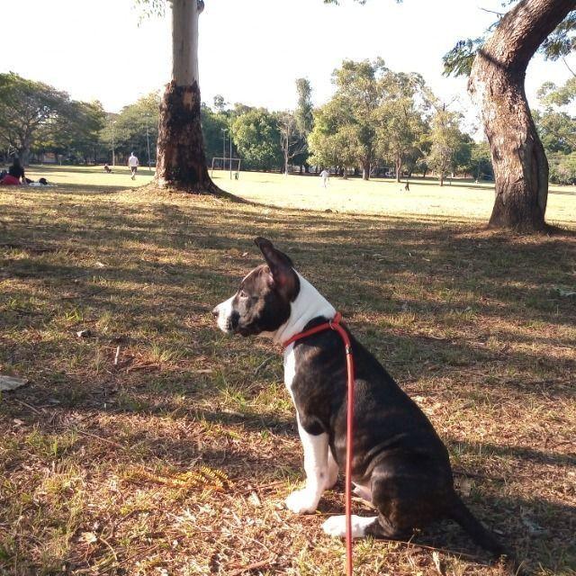 American Staffordshire terrier - Foto 3