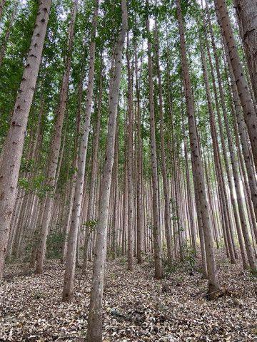 Floresta de eucalipto clonado  - Foto 3