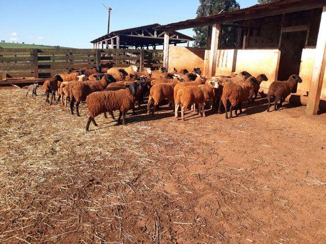 Lote de Ovelhas  - Foto 2