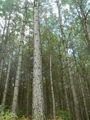 Área com 40 mil pés de Pinus com 15 Anos