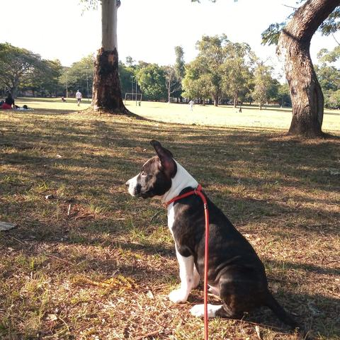 American Staffordshire terrier - Foto 5