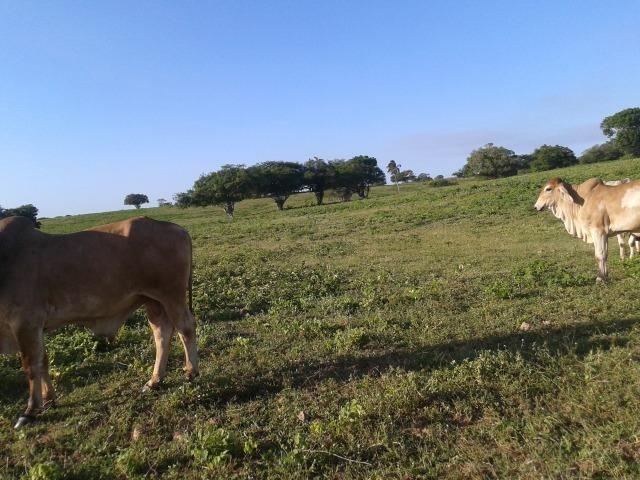 Fazenda com 290 há, casa, curral, 4 barreiros, muito pasto - Foto 14