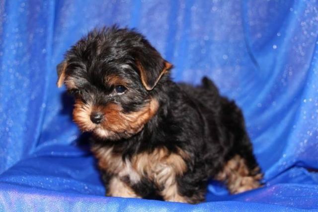 Pequenos bebes de Yorkshire Terrier