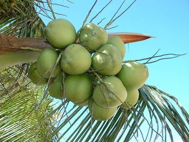 Coco verde barato com qualidade é aqui
