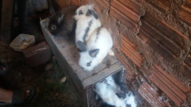 Criação de galos, galinhas e coelhos de raça. - Foto 2