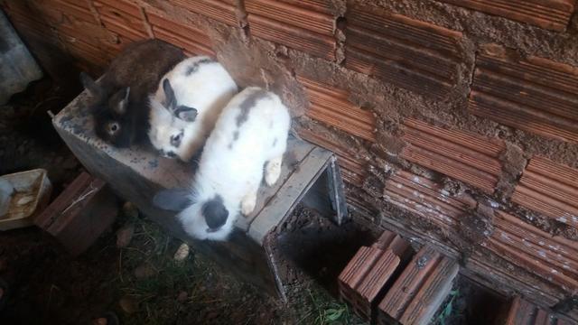 Criação de galos, galinhas e coelhos de raça. - Foto 4