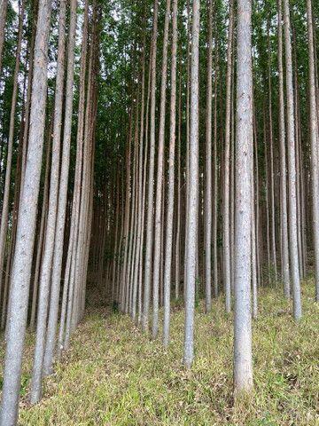 Floresta de eucalipto clonado