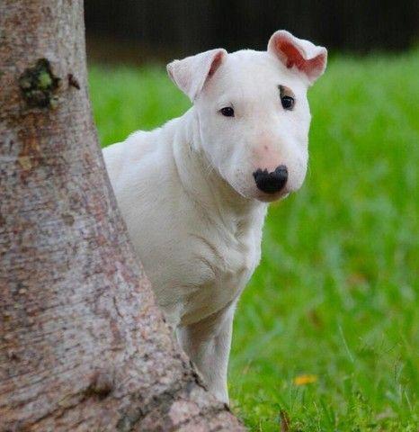Maravilhosos Filhotes de Bull Terrier promoção só hoje - Foto 2
