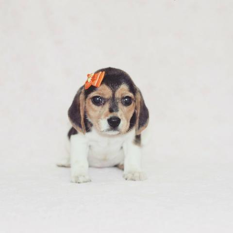 Beagle femeas e machos