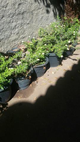 Vendo mudas de plantas ornamentais