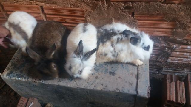 Criação de galos, galinhas e coelhos de raça. - Foto 3