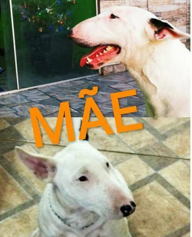 Bull Terrier - Foto 6