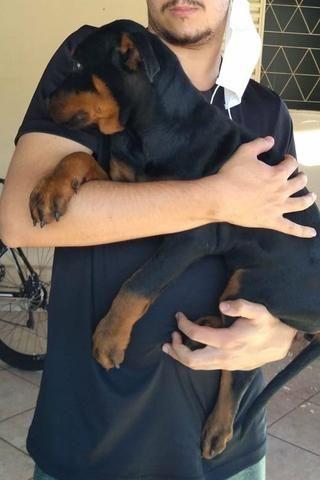 Rottweiler macho filhote preço negociável