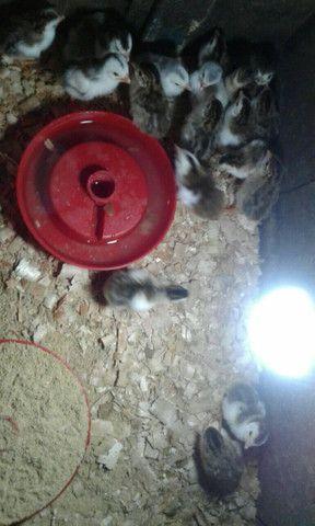 lindos filhotes de angulistas - Foto 3