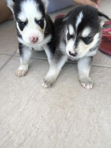 Filhotes de husky siberiano puro