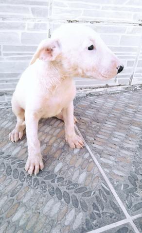 Bull terrier - Foto 4