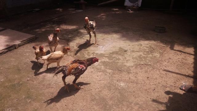 Criação de galos, galinhas e coelhos de raça.