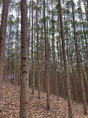 Floresta de eucalipto clonado  - Foto 2