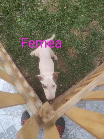 Bull Terrier - Foto 5