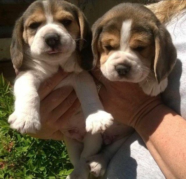 Incriveis filhotinhos de Beagle !!!