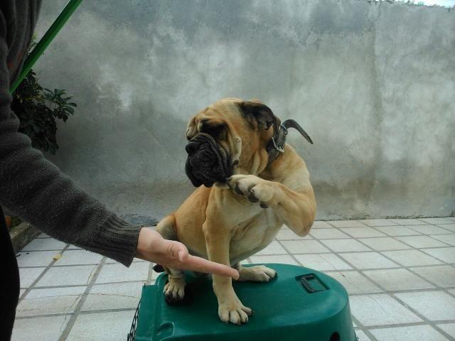 Bulldog Campeiro Adulto